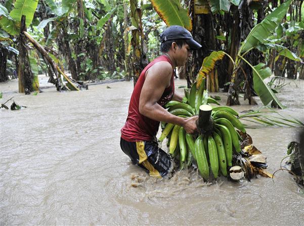 Productores de bananos Linea Noroeste reportan pérdidas de RD$3,600 millones por lluvias