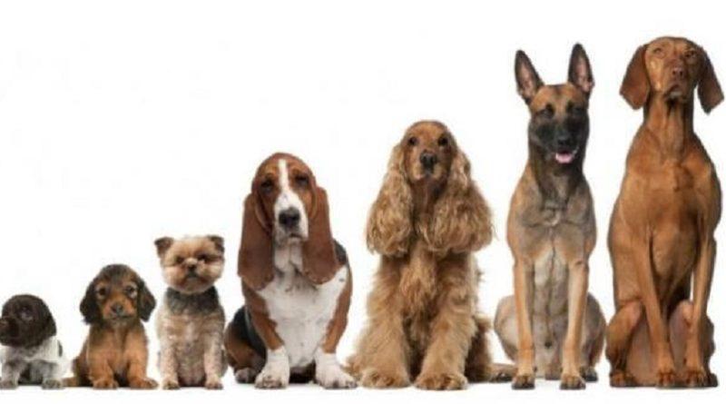 CURIOSO: ¿por qué los perros pequeños viven más que los grandes?