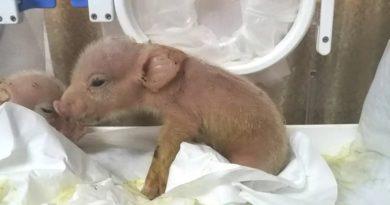 Científicos chinos logran nacimientos con vidas de criaturas de la combinación de cerdos con mono