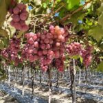 Agricultura imprime nuevo impulso a producción de uva de Neiba